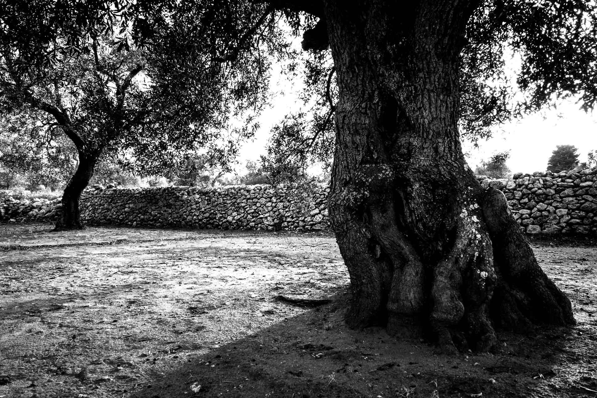 Ulivi del Salento: due esemplari di alberi di ulivo secolari con un muretto a secco a delimitare la campagna