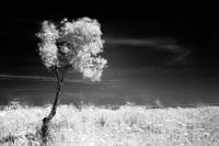 Un Ulivo e il canto del vento in un campo di primavera